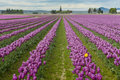 Skagit Valley Tulips Royalty Free Stock Image - 69960166