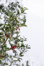 Branch Of Holly With Red Berries Stock Images - 69975894