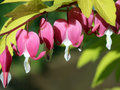 Golden Bleeding Heart Stock Photos - 69990483