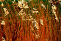 Golden Reed Stock Images - 76554