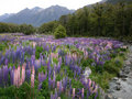 New Zealand Lupins Stock Photo - 705730