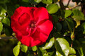 Rose In The Garden Stock Images - 706514