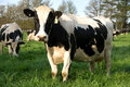 Dairy Cows Royalty Free Stock Photography - 7006717