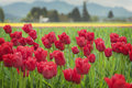 Skagit Valley Tulips Royalty Free Stock Photos - 70002058