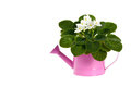 White African Violets Flowers Stock Photo - 70028840