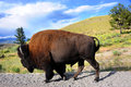 Bison On Roadside In Yellowstone Stock Photos - 70031573