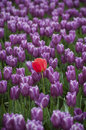 Skagit Valley Tulips Stock Image - 70047351