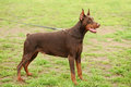 Doberman Pinscher Portrait Stock Photo - 70061250