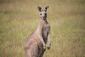 Eastern Grey Kangaroo - Macropus Giganteus Stock Photos - 70078363