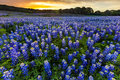 Beautiful Bluebonnets Field At Sunset Near Austin, Texas In Spri Stock Images - 70091694