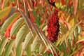 Red Sumac Seed Head. Royalty Free Stock Image - 7015756