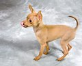 Toy Terrier Dog Stock Images - 70101784