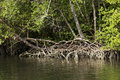 Mangrove Stock Images - 70105204