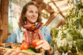 Friendly Woman Harvesting Fresh Tomatoes From The Greenhouse Garden Putting Ripe Local Produce In A Basket Stock Photography - 70109622
