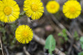 Coltsfoot Flower On Spring Stock Photography - 70124512