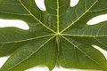 Closeup Pawpaw Tree Leaf Patterns And Textures Royalty Free Stock Images - 70177329