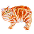 Watercolor Portrait Of Red Manx, Manks Cat With No Tail  On White Background.  Royalty Free Stock Photography - 70187877