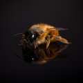 Bee On Black Background Stock Images - 70198394