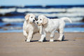 Two Golden Retriever Puppies On A Beach Stock Photo - 70245680