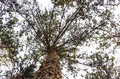 Pine Tree Trunk Stock Images - 70252314