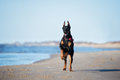 Doberman Dog Running On A Beach Royalty Free Stock Images - 70258669