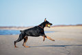 Doberman Dog Running On A Beach Stock Images - 70258684