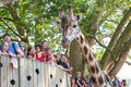 Giraffe In A Zoo With The Public Royalty Free Stock Images - 70258999