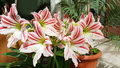Beautiful Blooming White Amaryllis  Flowers Stock Photography - 70259032