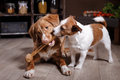 Dog Breed Jack Russell Terrier And Dog Nova Scotia Duck Tolling Retriever, Foods Are On The Table In The Kitchen Royalty Free Stock Photos - 70269078