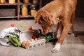 Dog Nova Scotia Duck Tolling Retriever , Foods Are On The Table In The Kitchen Stock Photography - 70270392