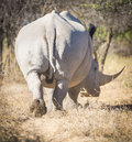 White Rhinoceros Africa Royalty Free Stock Images - 70284409