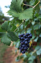 Grapes Italian Fields Wine Royalty Free Stock Images - 70289119