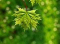 Juicy And Fresh Leaf Of Tree, On Green Background, Spring Nature Royalty Free Stock Photography - 70295667