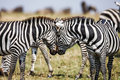 Two Zebras Create Perfect Symmetry, Harmony While Standing Face To Face` Royalty Free Stock Image - 70298266