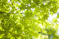 Maple Leaves Background Royalty Free Stock Image - 7039076