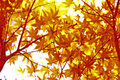 Japanese Green Maple Leaves Royalty Free Stock Photo - 7039215