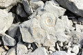 Ammonite Fossil Royalty Free Stock Photo - 70308455