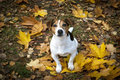 Sweet Dog Sitting In Autumn Leaves And Look In Your Eyes Royalty Free Stock Photo - 70313185