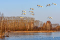 Swans Lake Fly Birds Stock Images - 70385774