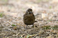 Turdus Merula Or Common Blackbird Carrying Worms Stock Images - 70402344