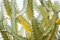 Yellow Green Cactus Against Light Blue Sky Stock Photo - 70446270