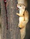 Tree Squirrel, Paraxerus Cepapi Chewing Gum From A Combretum Tre Stock Photography - 70452202