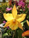 Yellow Hybrid Laelia Orchid Blossom Stock Photography - 70473912