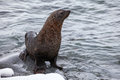 Fur Seal Sitting On The Rocks Washed By Ocean, Antarctica Stock Images - 70486524