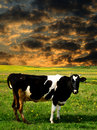 Cow Sunset Royalty Free Stock Photo - 7053075