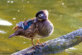 Female Wood Duck On Branch Resting Stock Photos - 70530153