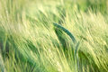 Unripe Wheat (wheat Field) - Unripe Field Of Agricultural Crops Stock Image - 70530721