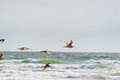 Long Bill Curlew In Flight At Pismo Beach, California Royalty Free Stock Image - 70558276