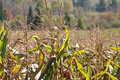 Late Summer Corn Royalty Free Stock Photography - 70560857
