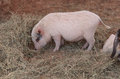 Pink Pig Known As A Gottingen Minipig Royalty Free Stock Photo - 70587165